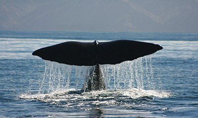 Whales tail out of the water at Kaikoura - used to link to Leisure Time Tours Small Group Journeys page