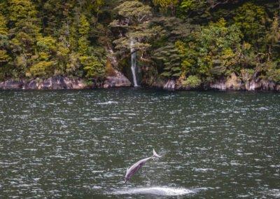 Doubtful Sound wildlife - dolphins