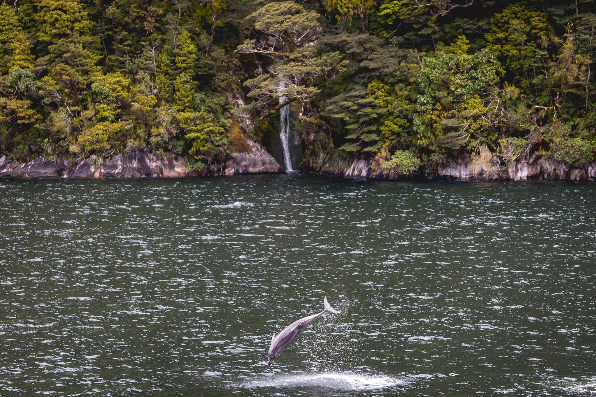 Doubtful Sound Wildlife dolphins