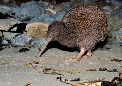 Kiwi Encounter, kiwi searching for some food
